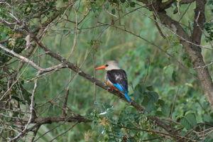 Murchison Falls ijsvogel - oeganda