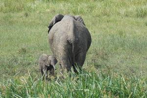 Murchison Falls olifanten - oeganda