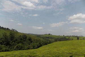 kibale theeplantages - oeganda