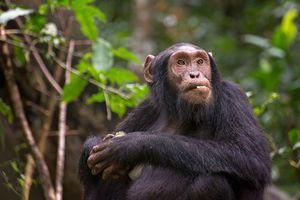 Chimpansee in Kibale National Park