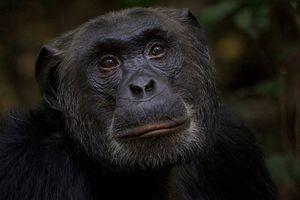Chimpansee in Kibale National Park (2) - Kibale National Park - Oeganda