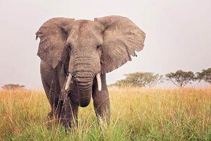 dreigende olifant in Oeganda - oeganda