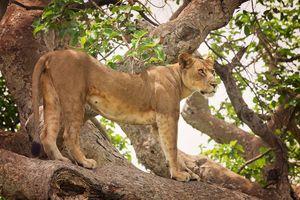 leeuwin in Ishasha - Ishasha - Oeganda