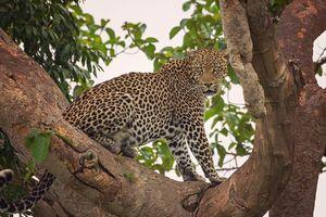 luipaard in Ishasha