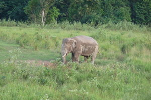 olifant in Khao Yai National Park - Thailand