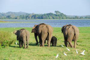 olifanten in Minneriya National Park - Sri Lanka - foto: pixabay