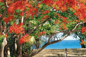 flamboyant boom (flame tree) - Reunion - Réunion