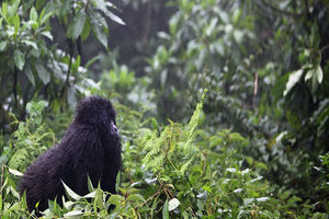 Gorilla in het Volcanoes National Park - Volcanoes National Park - Rwanda
