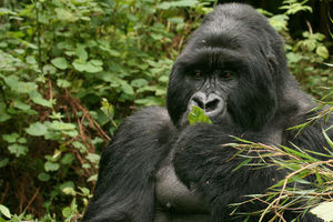 Gorilla in het Volcanoes National Park - Volcanoes National Park - Rwanda