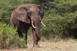 Olifant in het Akagera National Park - Akagera National Park - Rwanda