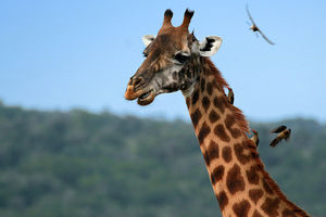 Giraffe in het Akagera National Park - Akagera National Park - Rwanda
