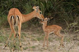 Impala's in het Akagera National Park - Akagera National Park - Rwanda