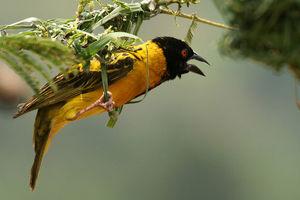 Vogel in het Akagera National Park - Akagera National Park - Rwanda