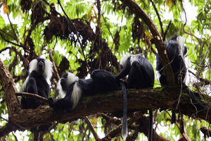 Colobus aapjes in het Nyungwe National Park - Nyungwe National Park - Rwanda
