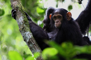 Chimpansees in het Nyungwe National Park - Nyungwe National Park - Rwanda