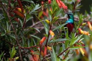 Vogel in het Nyungwe National Park - Nyungwe National Park - Rwanda