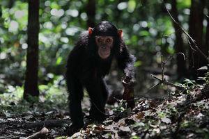 Chimpansee in het Nyungwe National Park - Nyungwe National Park - Rwanda