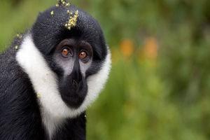Aap in het Nyungwe National Park - Nyungwe National Park - Rwanda