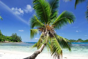 Palmboom - Seychellen