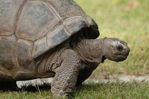 Schildpad - Silhouette - Seychellen