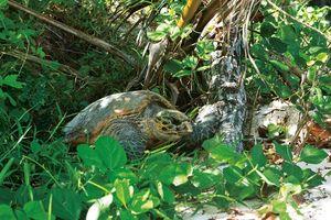Lemuria schildpad - Constance Lemuria - Seychellen