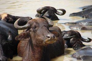 koeien in het water - Yala National Park - Sri Lanka