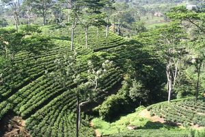 Theeplantage in de bergen - Nuwara Eliya - Sri Lanka