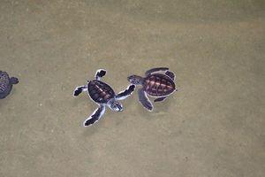 turtle farm - Bentota - Sri Lanka