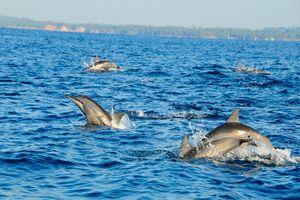 dolfijnen bij Kalpitiya