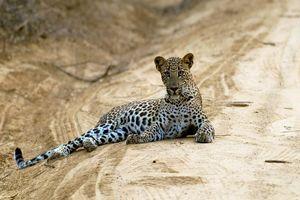 luipaard op de weg - Yala National Park - Sri Lanka