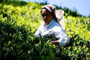 theeplukster Nuwara Eliya - Nuwara Eliya - Sri Lanka