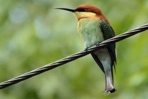 bruinkopbijeneter - Surrey - Sri Lanka