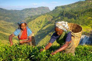 Theeplukkers, theeplantage - Sri Lanka