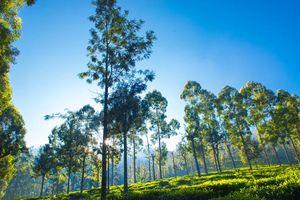 bomen in Sri Lanka - Sri Lanka