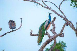 Pauw in een boom in Sri Lanka - Sri Lanka - foto: Archief