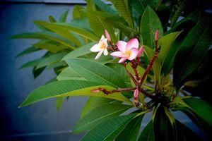 frangipani - Sri Lanka