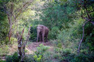 olifant in Wilpattu - Wilpattu - Sri Lanka