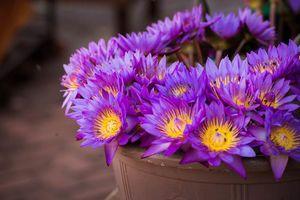 paarse bloemen - Sri Lanka