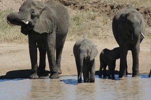 olifanten drinkend - Serengeti - Tanzania