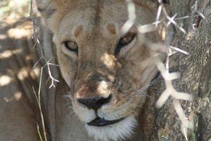 leeuw - Serengeti - Tanzania
