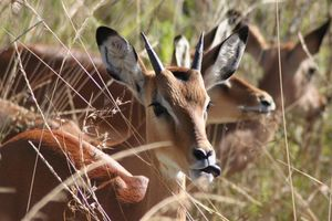 impala - Serengeti - Tanzania