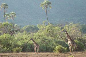 giraffe lake manyara