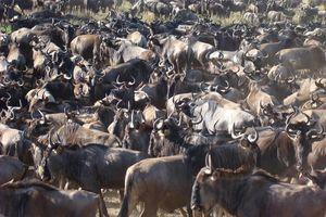gnoes migratie - Serengeti - Tanzania