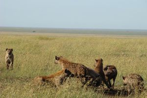 hyena's - Serengeti - Tanzania