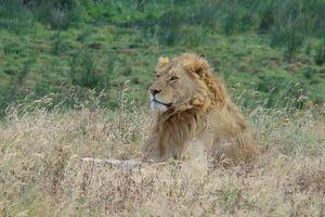 leeuw - Ngorongoro Crater - Tanzania