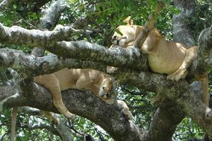 Slapende leeuwen in boom