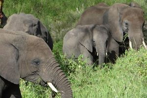 Grazende olifanten - Serengeti - Tanzania