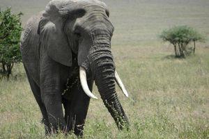 Grote olifant - Serengeti - Tanzania