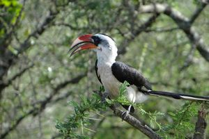 Neushoornvogel - Serengeti - Tanzania