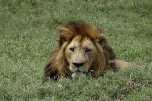 Liggende leeuw - Ngorongoro Crater - Tanzania